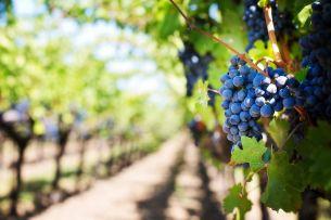 Jaké víno se pěstuje v Praze? Dejte si sklenku a okuste pohodu vinic v Grébovce